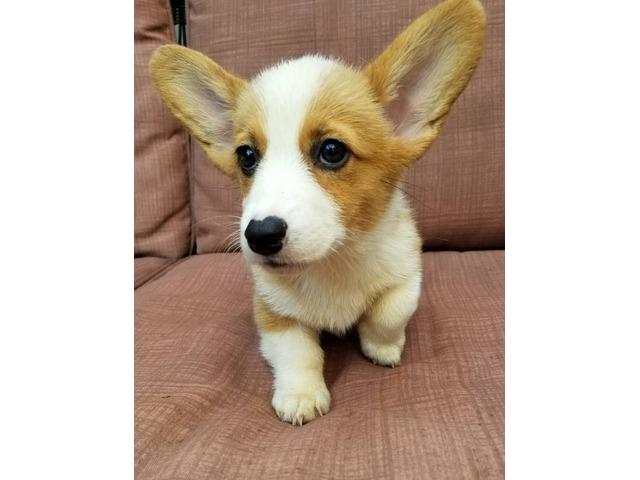 Pembroke Welsh Corgi puppy | free-classifieds-usa.com