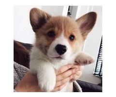 3 MONTHS AKC Pembroke Welsh Corgi puppy