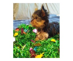 Tiny AKC male yorkie puppy available