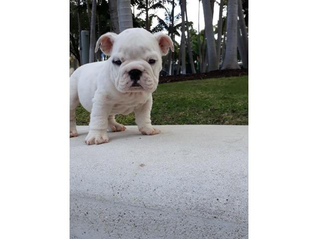 English Bulldog Puppies Animals Houston Texas Announcement