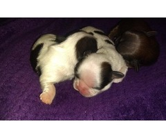 Imperial shihtzu male puppies with full akc