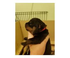 AKC Rottweiler puppies,