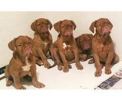 Dougue de bordeaux AKC puppies