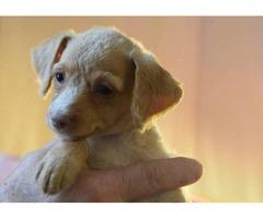 Pinnypoo Puppies