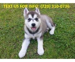 2 Female Pedigree Siberian Husky Puppy available.