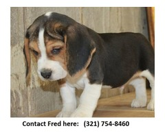 Beautiful Beagle puppies! These sweet pups are family raised