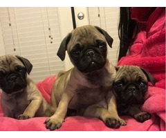 Pug puppies $325 OBO