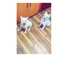 White German Shepard puppies