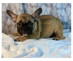 Beautiful French Bulldogs Now ready for their new homes Females and Males