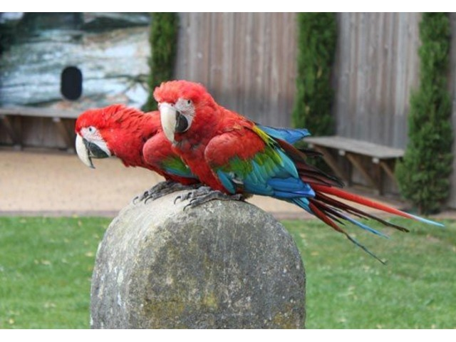 Active Beautiful Baby Greenwing Macaws DNA registration