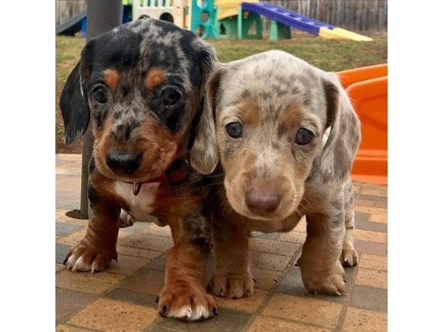 Dapple Dachshund Puppies Animals Philadelphia Pennsylvania