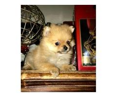 Small Pomeranian puppies ready now