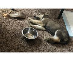 Drogon - Wolfdog