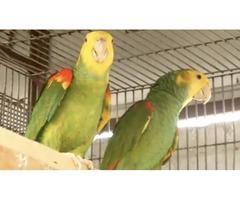 Double yellow head Amazons