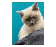Ragamese Kittens