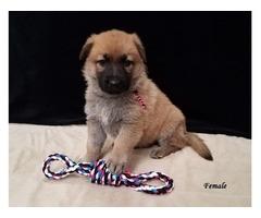 AKC german shepherd puppies!