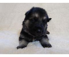 AKC shepherd pups