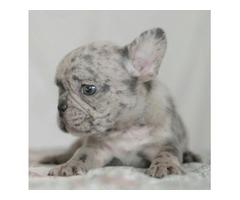 French Bulldog, Blue merle