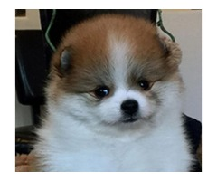 AKC parti female pomeranian puppy