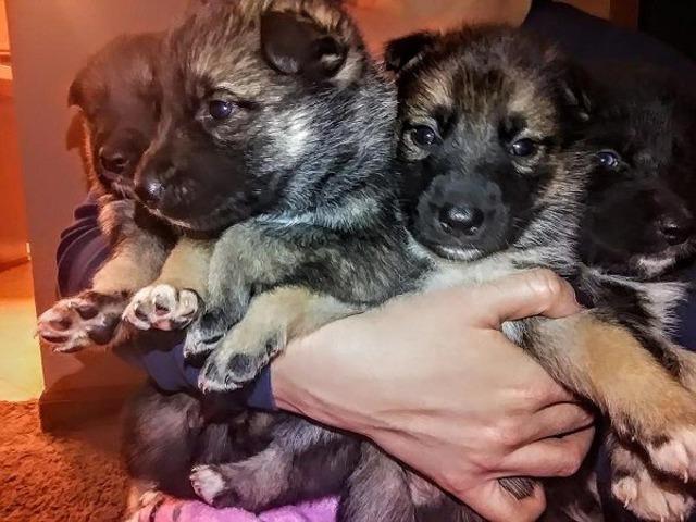 German Shepherd Siberian Husky Puppies Animals New York City
