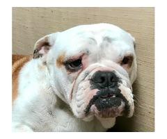 AKC registered female English Bulldog