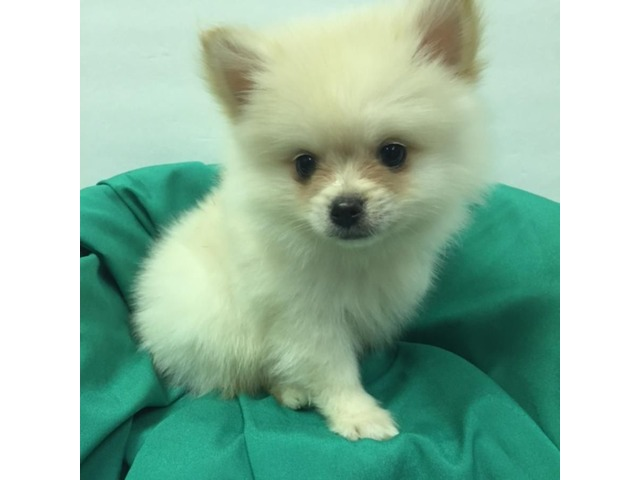 Pomeranian Puppies For Sale Animals New York City New York