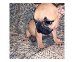 Micro French bulldog puppies