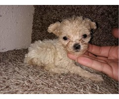 Toy poodle puppies!!