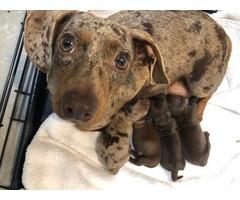 AKC dachshund pups