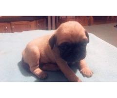 Brow pug for sale