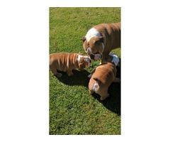 Beautiful English Bulldogs puppies