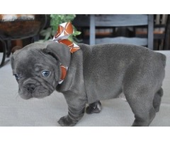 beautiful, funny, smart, and energetic French bulldog 10 weeks old