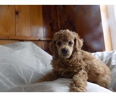 Minature poodle male ( Utica NY)