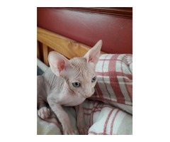 Canada sphynx 2 kittens active on tica