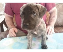 Brindle Mastiff Girl