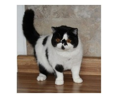Cattery Reduction CFA breeding pair
