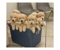Current vaccinations Golden Retriever puppies