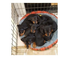 AKC dachshunds black and tan minis