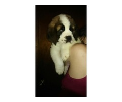 AKC champion bloodline saint bernard
