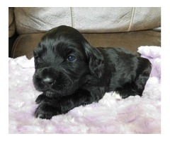 Wavy Portuguese Water Dog Puppies