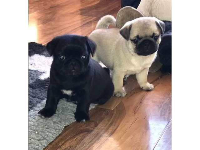 Fawn Pug For Sale Animals Chicago Illinois Announcement 146199