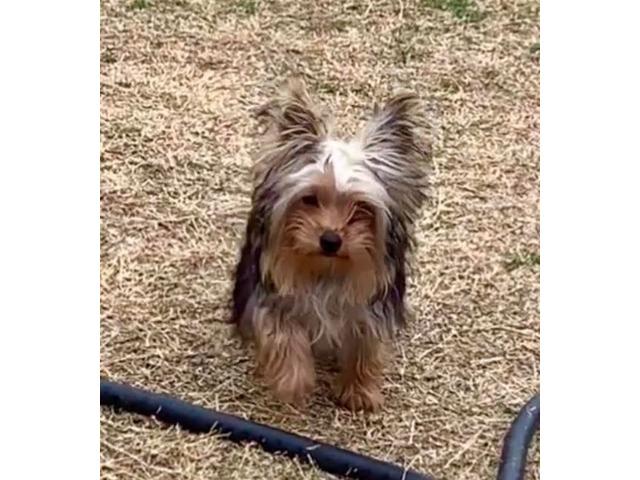 Mini Yorkie Animals Houston Texas Announcement 146422