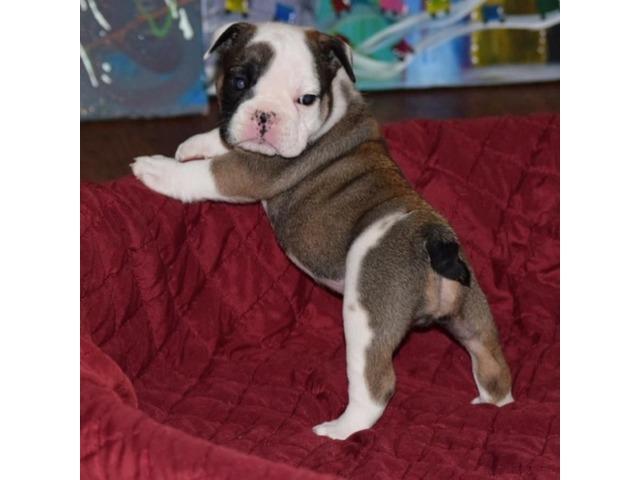 Female English Bulldog Puppies For Sale Animals Houston Texas