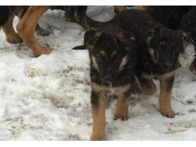 German Shepherd Puppies Animals New York City New York