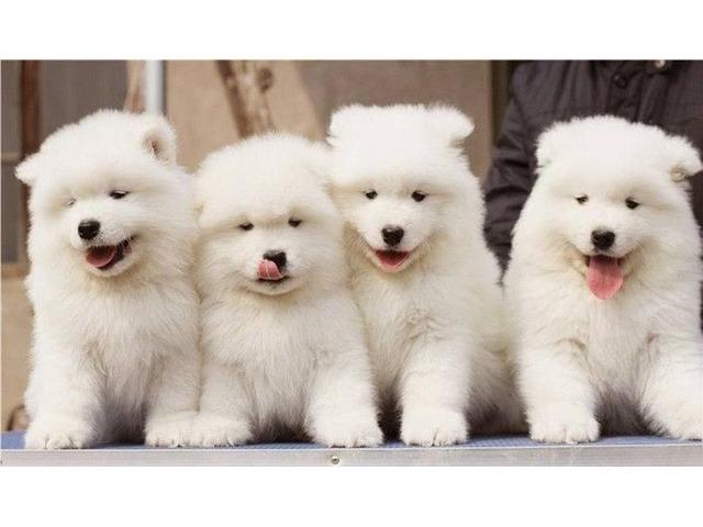 Samoyed For Sale >> Beautiful Pure White Samoyed Puppies For Sale Animals Houston