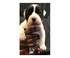 American Bully Pup Needs a new Home