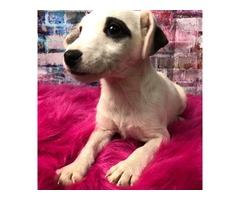 Registered Jack Russell pups