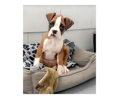 Akc boxer puppies -- Ava is ready now