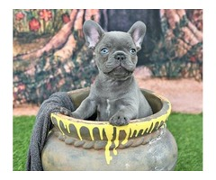 AKC Registered Cute French Bulldog Puppies For Rehoming!!!!
