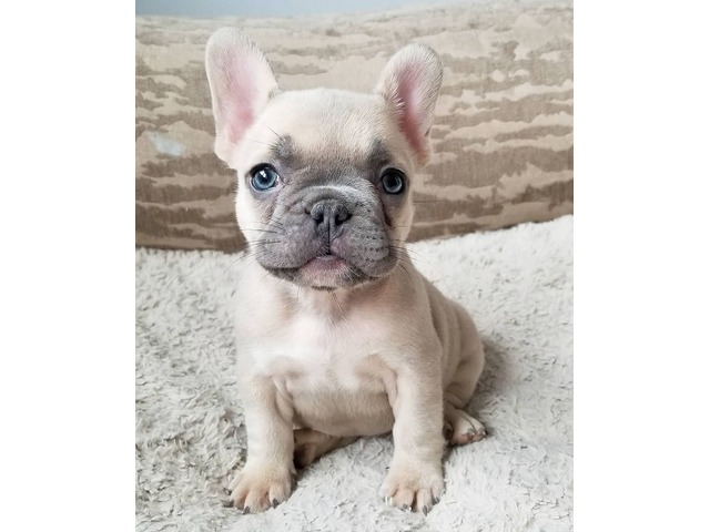 BLue Male and Females French Bulldog Puppies | free-classifieds-usa.com